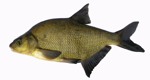 Photo: Bream (adult)