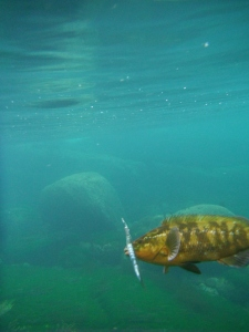 Wrasse coming in