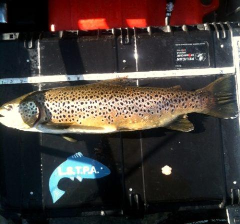 Sheelin - Peter Boyle's 6lb 63.5 cm Sheelin trout