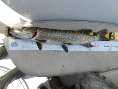 Another Nice Pike
