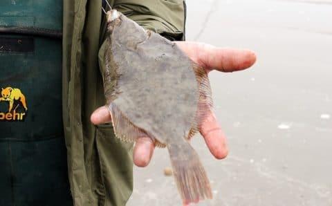 A Nice Louth Flounder