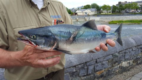 A possible sockeye salmon, indicated by a slight hump, or a coho, caught at the Galway Fishery on 27 June 2017.