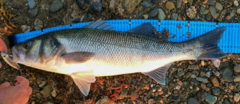 A quick measure before release for this lovely Wexford bass. #cprsaveslives