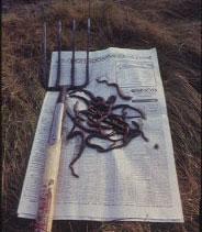 Lugworm