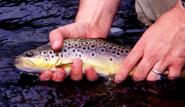 Stoneyford trout