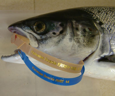 A salmon tagged with both blue and brown gill tags
