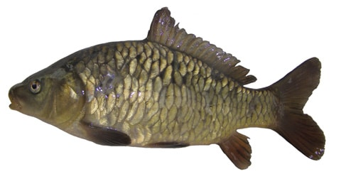 Photo: Examples of the 4 main scale types displayed by carp
