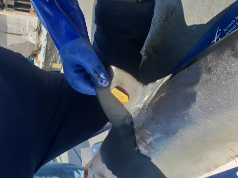 blue shark tagged and ready to be released