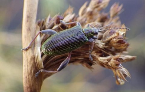 A Reed Beetle - one of Lough Sheelin's autumnal terresterials