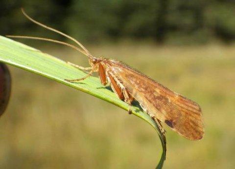 A Sheelin sedge - Limnephilus vittalus