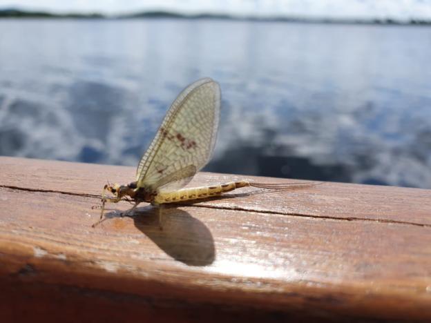 Ephemera danica (May 6th)