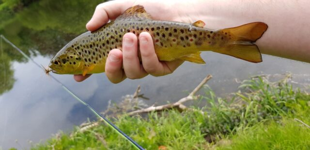 Another small trout falls to the fly