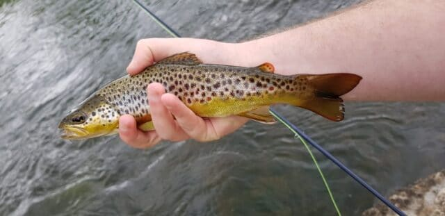 A small free-rising wild Brown trout from the Boyne at Navan
