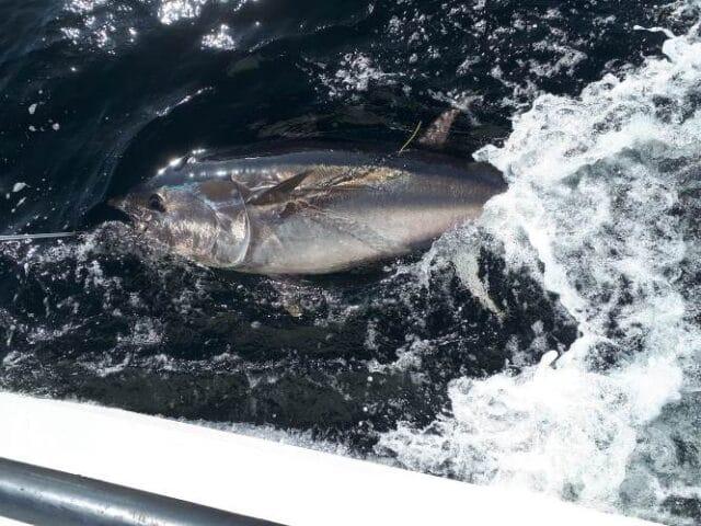 Tagged Bluefin Tuna Donegal Bay 2019. Copyright Adrian Molloy