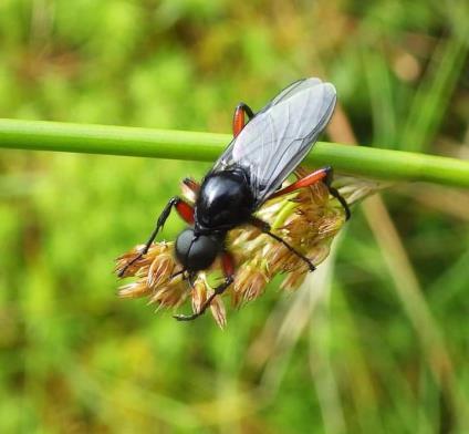 A Heather fly - Bibio pomonae