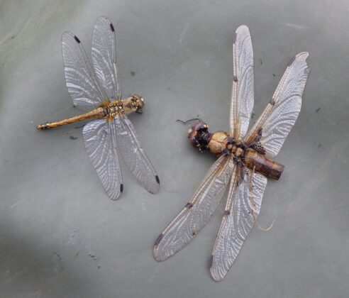 Bits and pieces - 2 species of Dragonfly
