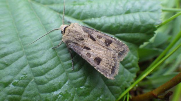 The weirdly wonderful - Heart and Dart moth