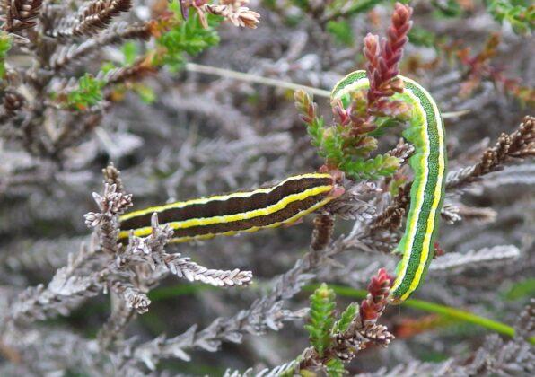 Welcoming autumn - Broom Moth Caterpillars