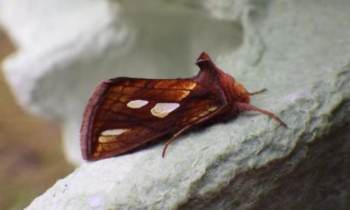 Heralding in the Fall - a Gold Spangle moth