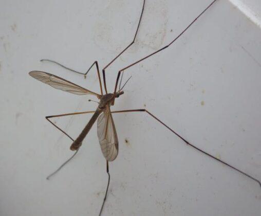 Model legs - Lough Sheelin's Crane fly