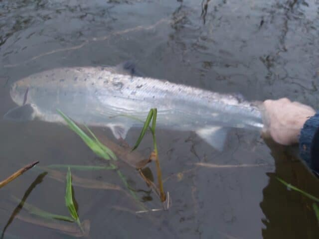 salmon catch and release