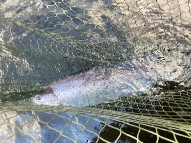 A fine Currane sea trout