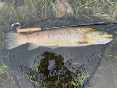 big trout trout