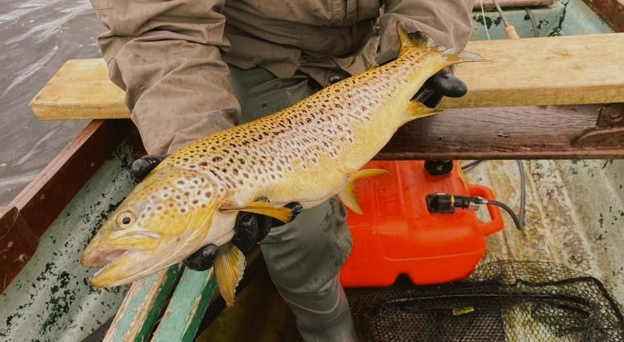 A beautiful Irish Wild brown trout from the Midlands Lakes