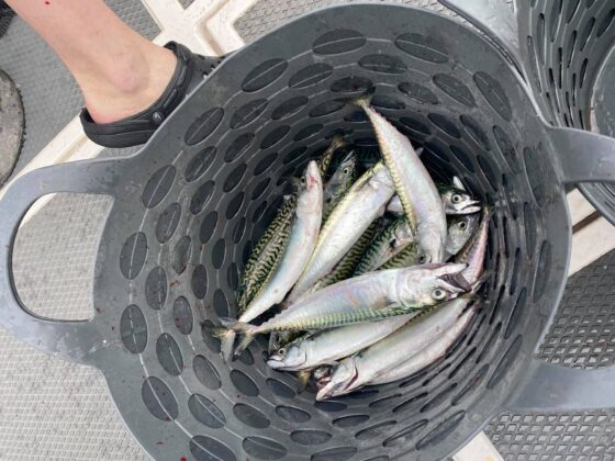No bother with mackerel on Thursday and Friday… there was an easterly on Saturday and the mackerel disappeared